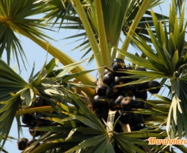 Manfaat Pohon Lontar