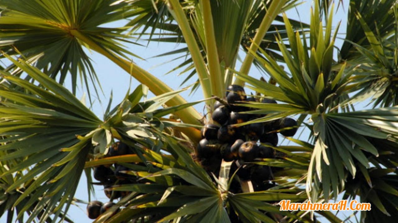 Sejuta Manfaat Pohon Lontar atau Siwalan Manfaat pohon Lontar - Buah lontar atau siwalan biasanya banyak dijual di pinggir jalan di daerah dekat pantai. Selain menjual dalam bentuk buah, pohon lontar atau siwalan biasanya juga diperjualbelikan dalam bentuk minuman segar. Pohon lontar atau siwalan yang memiliki nama latin Borassus Flabelitfer ini ternyata mengandung banyak sekali nutrisi yang bermanfaat bagi kesehatan. Pohon…